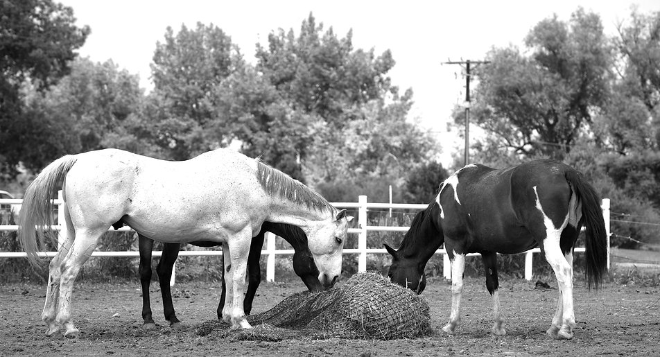 Three horses from our herd eating eating from a hay bale.