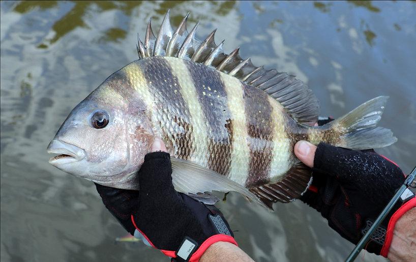 Sheephead_Galveston_Texas_Fishing.jpg