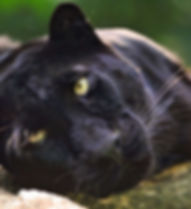 panther-black-jaguar-big-cat.jpg