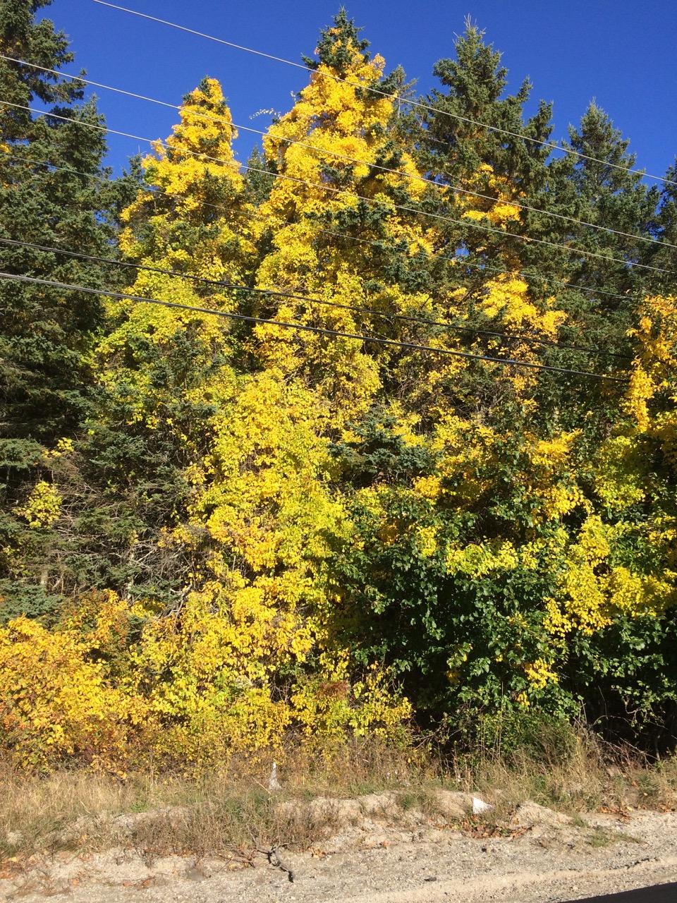 Bittersweet climbing a spruce