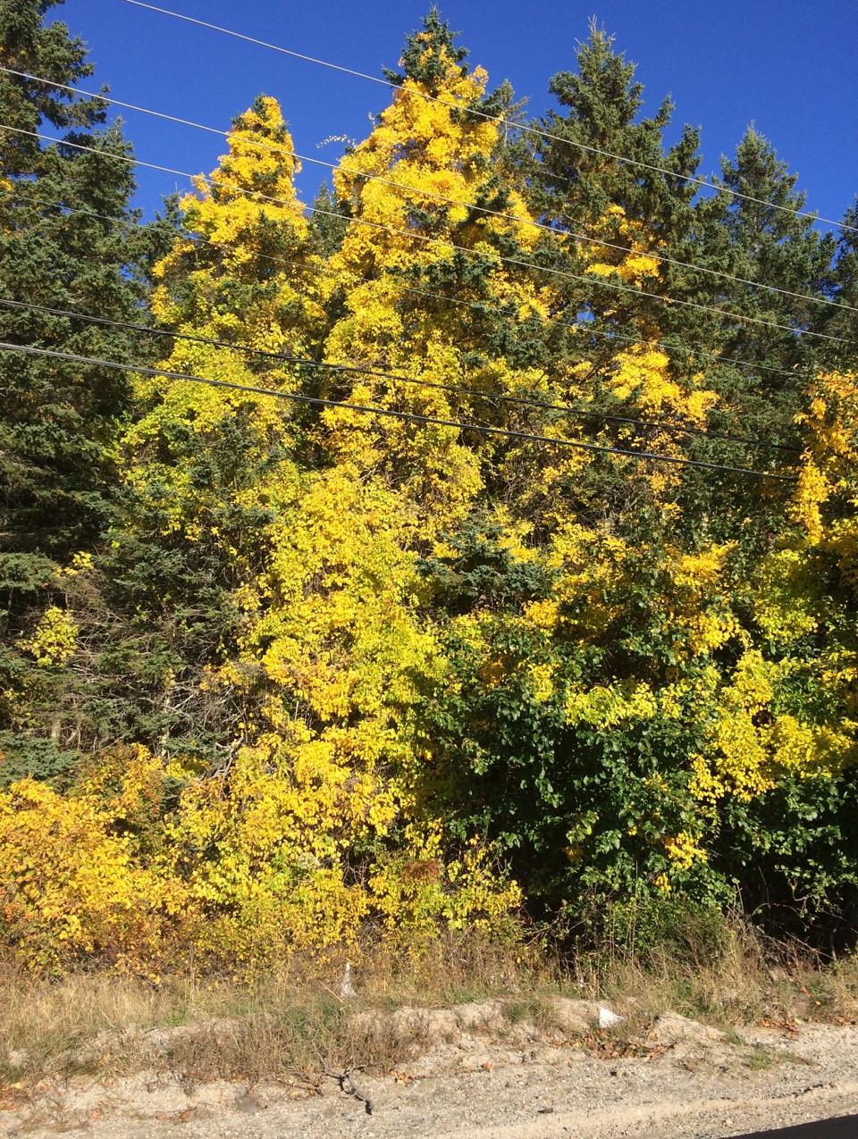 Bittersweet in spruce