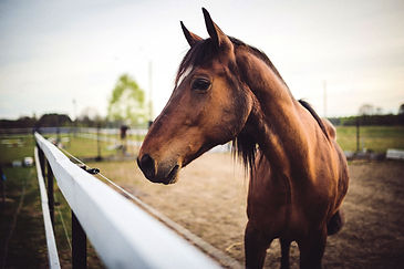 animal-brown-horse1.jpg