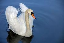 01 - swan-319379_1280.jpg