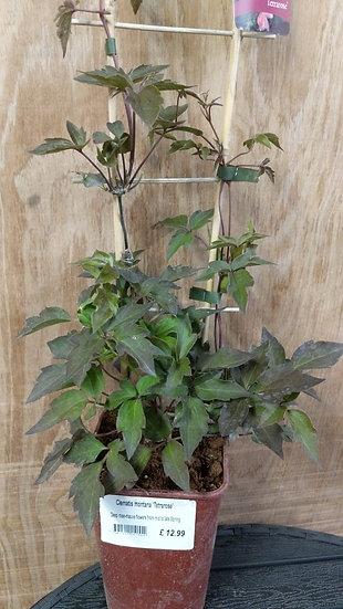 lematis montana 'Tetrarose'