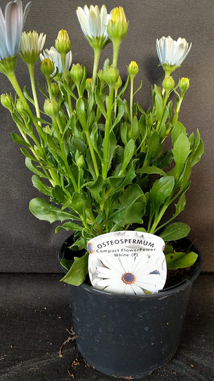 osteospermum white
