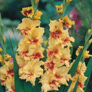 Gladiolus 'Jester' (10)
