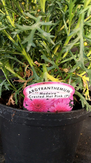 Argyranthemum 'Madeira Crested Hot Pink'