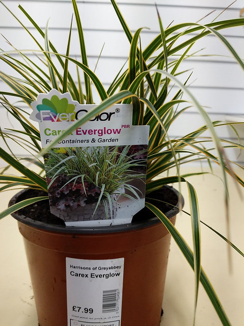 Carex Evergrow
