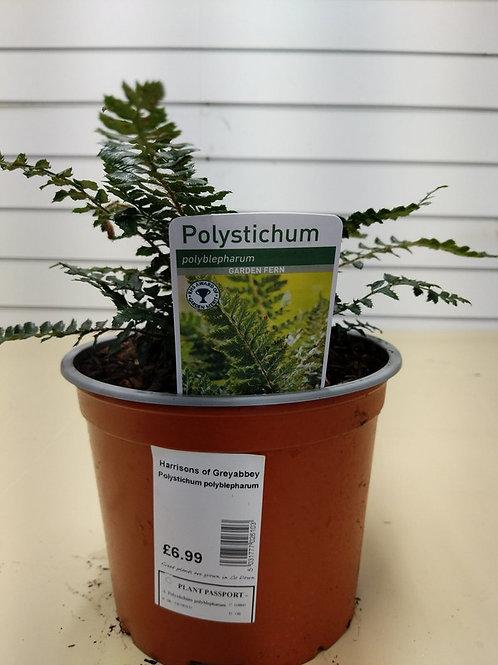 Polystichum