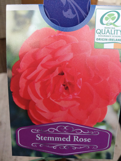 Standard Rose... Trumpeter