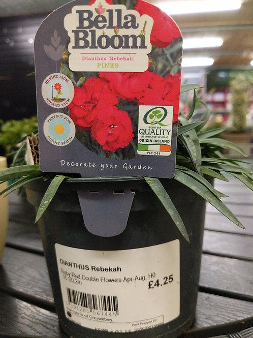 Dianthus Rebekah