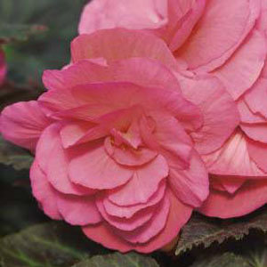 Begonia 'Double Pink' (3)