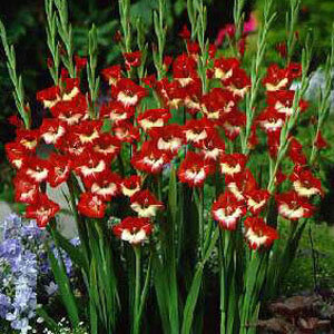 Gladiolus 'Mademoiselle De Paris' (10)