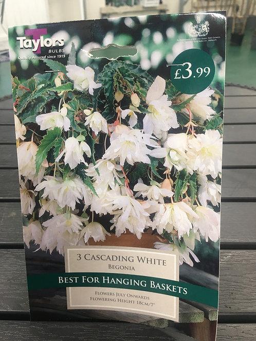 White Cascading Begonia