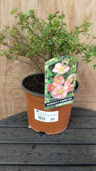 Potentilla fruticosa Glamour Girl