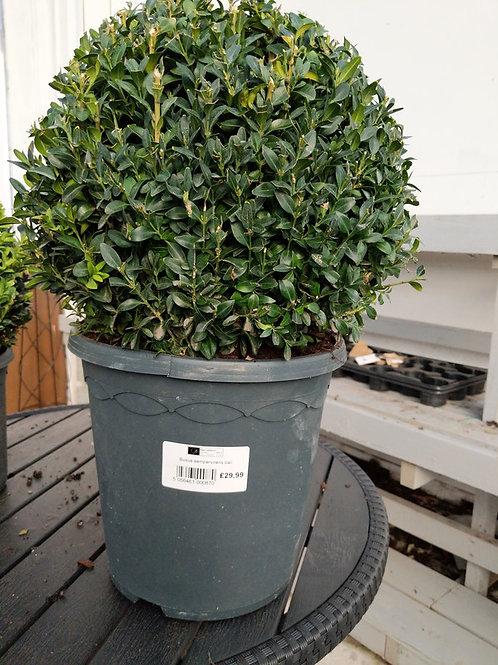 Buxus Sempervirens bali
