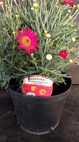 Argyranthemum 'Madeira' Red