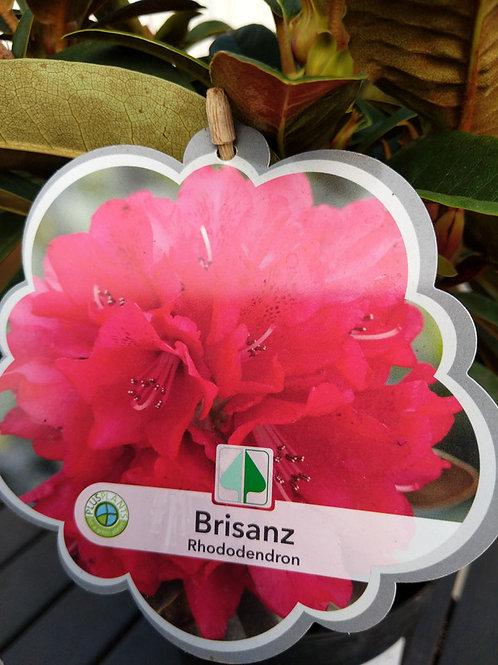 Rhododendron.. Brisanz