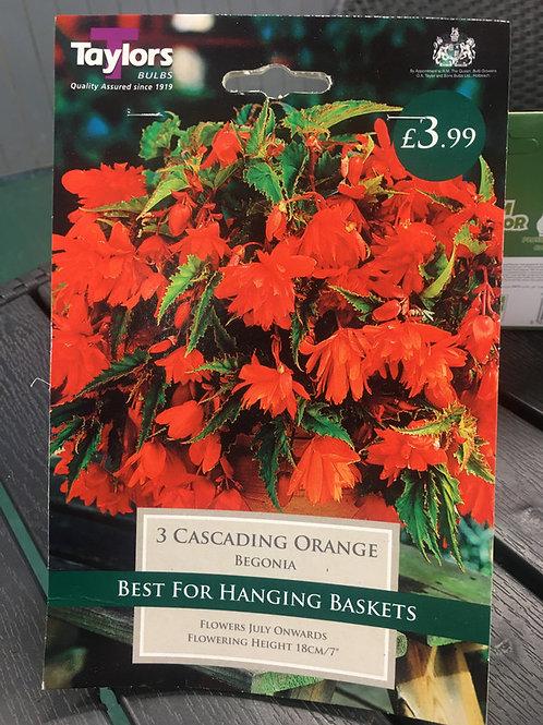 Begonia Orange