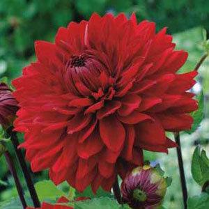 Dahlia 'Garden Wonder'(1)