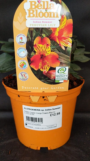 Indian Summer Peruvian Lily