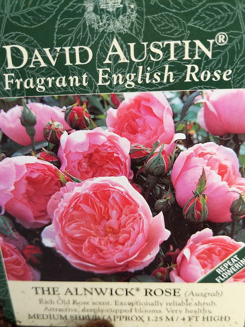 David Austin Fragrant English Rose The Alnwick