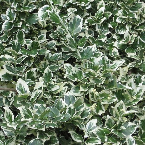 euonymus f emerald gaiety