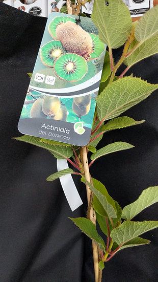 Actinidia deliciosa 'Boskoop' (kiwi)