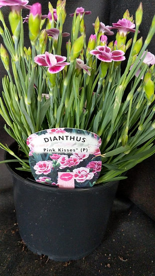 Dianthus 'Peach Kisses