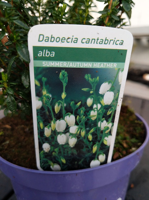 Heather.. Alba