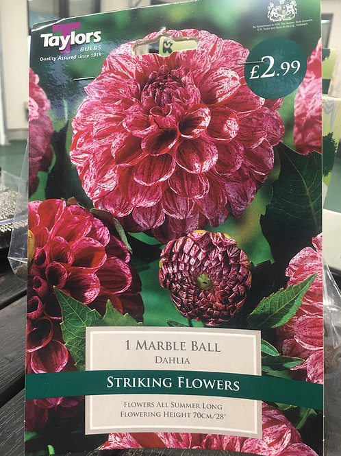 Stirking Flowers Dahlia