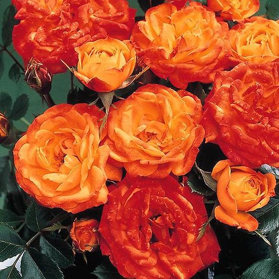 Irish Eyes' Bush Rose