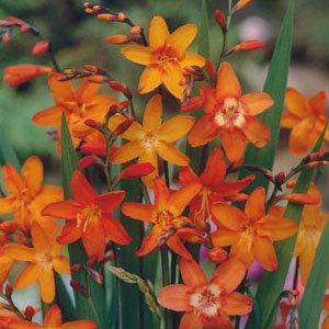 Crocosmia crocosmiiflora Mix (15)