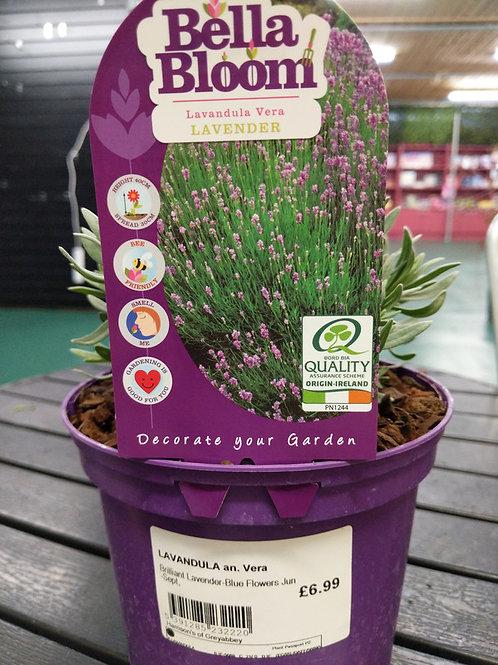Lavender an Vera