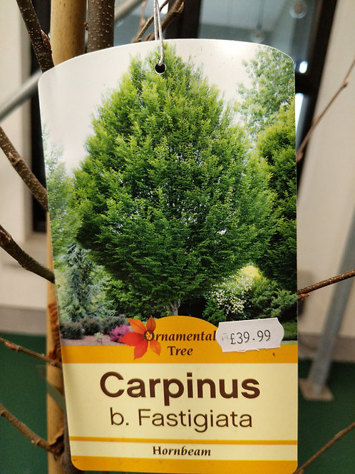 Carpinus b. Fastigiata