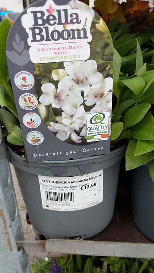 ALSTROEMERIA inticancha Magic White