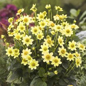 Dahlia 'Topmix Yellow'(1)