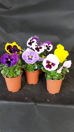 6 mixed pansies