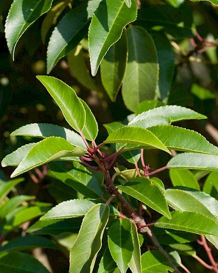 Prunus lusitanica 'Angustifolia