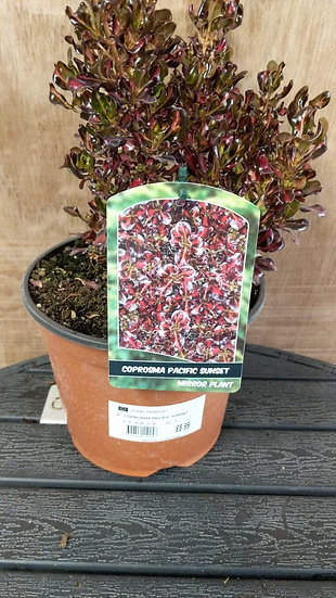 Coprosma 'Pacific Sunset