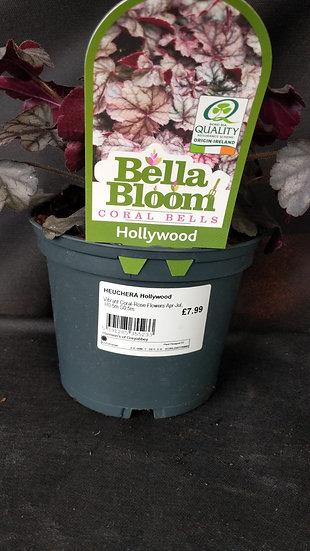 Heuchera 'Hollywood