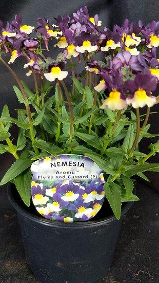 Nemesia Aroma Plums and Custard