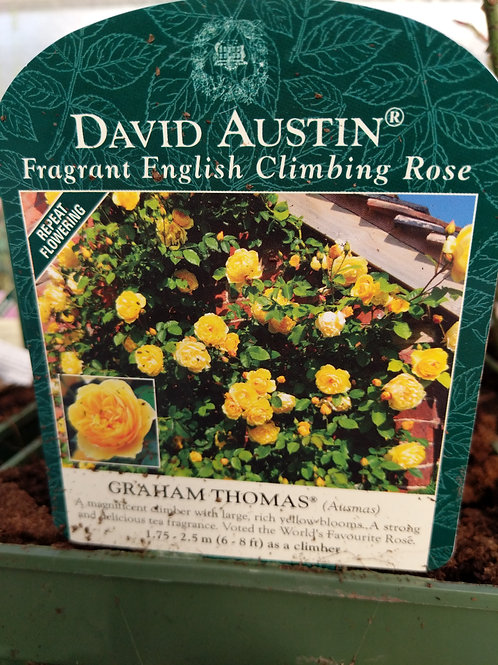 David Austin Graham Thomas Rosa Fragrant Climbing Rose