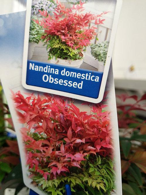 Nandina domestica Obsessed