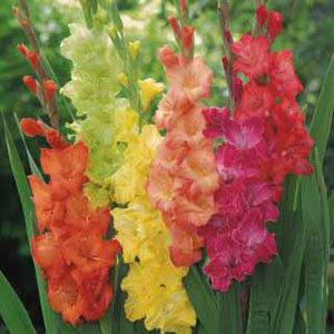 Gladiolus Mixed (10)