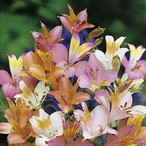 Alstroemeria 'Ligtu Hybrids' (3)