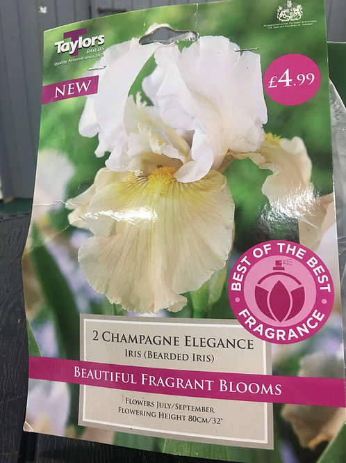 Champagne Elegance Iris