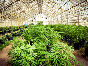 Good News For California Marijuana Cultivators