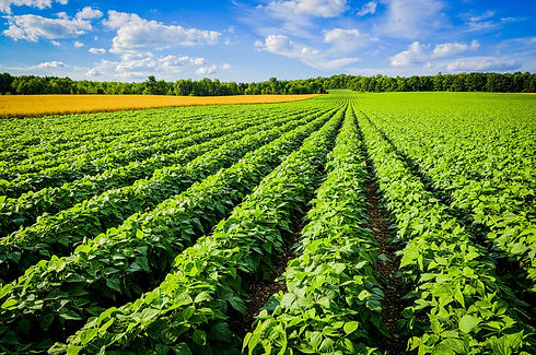Potato-Field-2-2.jpg