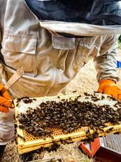 Ken inspects the bee herd..jpg